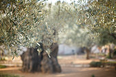 Garden of Gethsemane. Famous historic place in Jerusalem, Israel. Selective focus great for text.