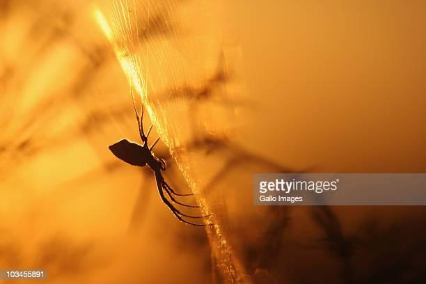 Garden Orb Web Spider, Argiope spider on web, against twigs and skyline in bushveld, backlit at sunset. Bosplaat Farm, Hertzogville, Orange Free State, South Africa.