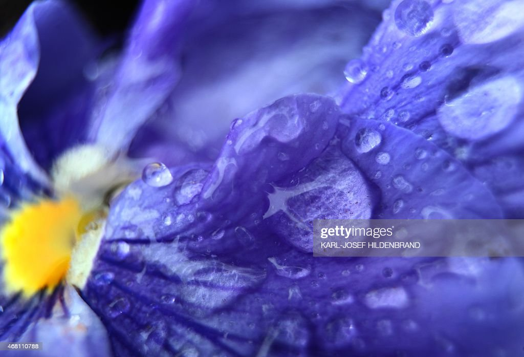 A garden pansy is covered with raindrops in Wuerzburg southern Germany on March 29 2015 AFP PHOTO / DPA / KARLJOSEF HILDENBRAND GERMANY OUT