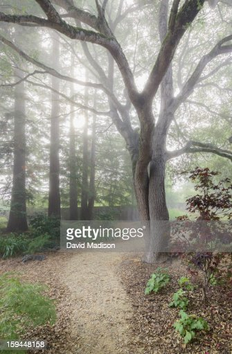 Landscaping With Redwood Trees : Garden path through oak and redwood trees stock photo getty images