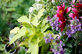 Zinnia, sweet potato vine and nemesia
