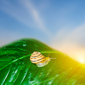 garden snail on a green leaf