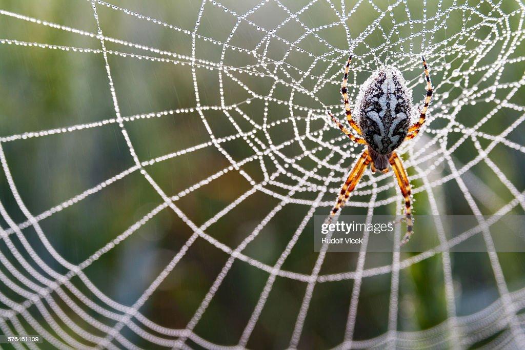 Garden spider, diadem spider (araneus diadematus)