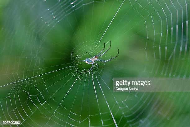 Garden spider waiting in it's web (Araneus diadematus)