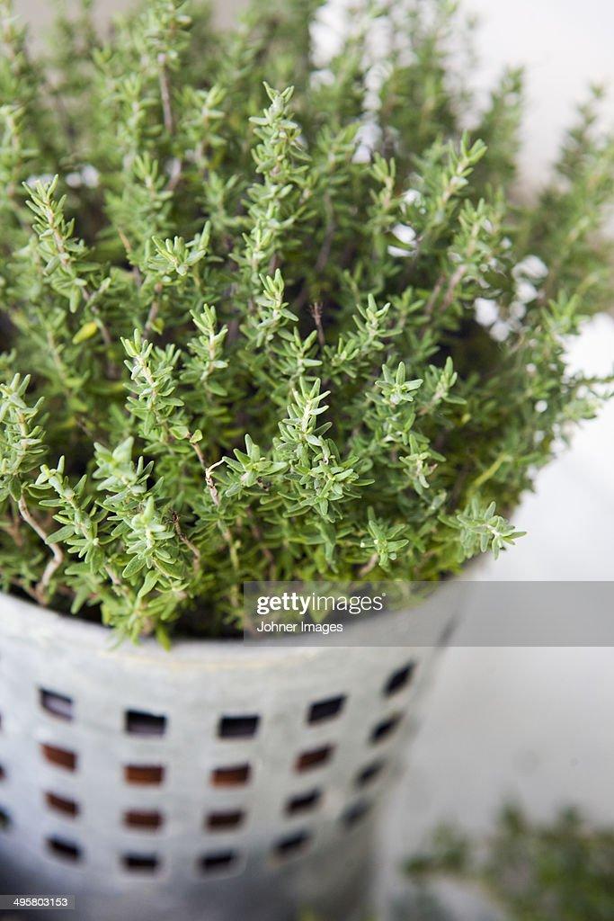 Garden thyme in pot