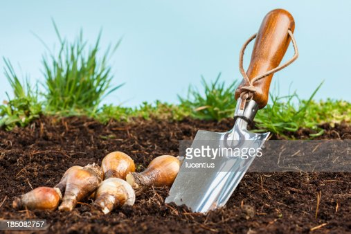 Garden trowel with bulbs in soil