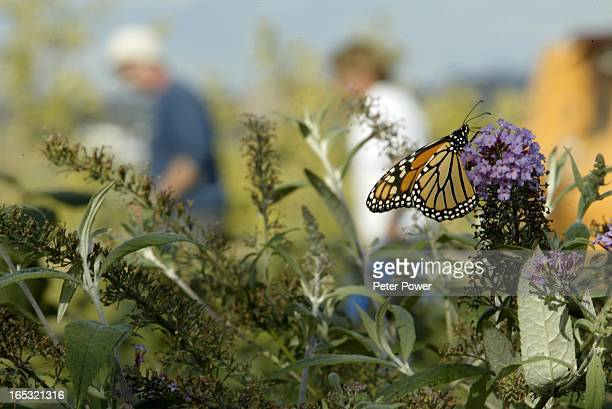 Butterflies and bumble bees were dropping by the the shores of Lake Ontario at thge foot of Park Lawn in Toronto as workers were putting the...