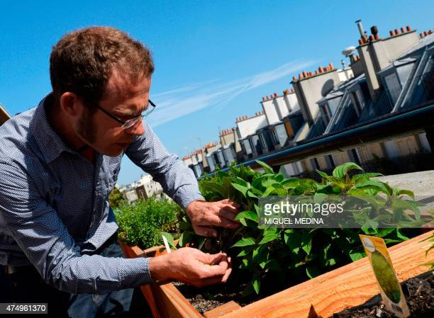 Gardener and founder of the Topager company specialized in urban vegetable gardens Nicolas Bel checks plants on May 18 2015 on the rooftop of the...