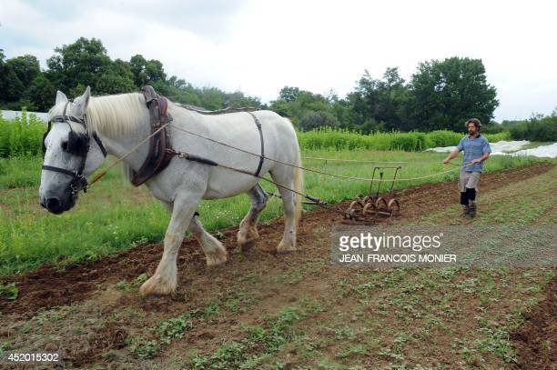 A gardener conducts a horse to plow the soil of French chef Alain Passard's vegetable garden in FillesurSarthe western France on July 9 2014 Since...