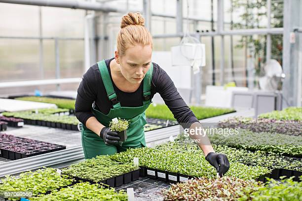 Gardener examining seedling in greenhouse