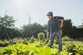 Gardener hoeing in courgette patch
