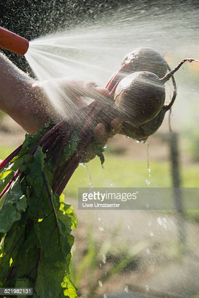 Gardener hosing down beetroot