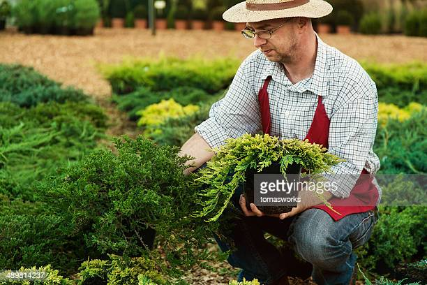 gardener planting a small cypress tree