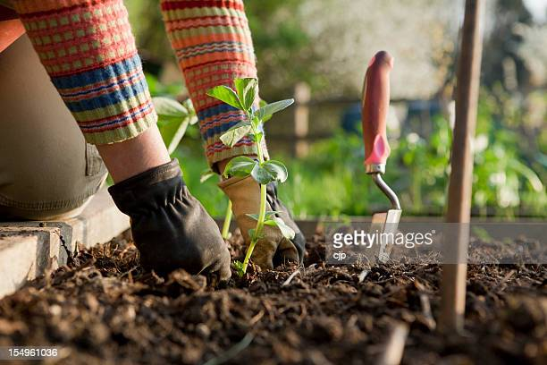 Gardener Planting On Broad Bean Plants