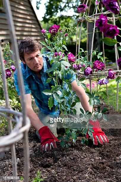 Gärtner Pflanzen Purple Rose Bush in Blume-Bett