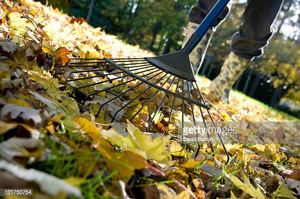 Gardener Raking Up Fallen Autumn Leaves from Garden Lawn