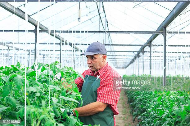 Gardener revise the vegetables in greenhouse