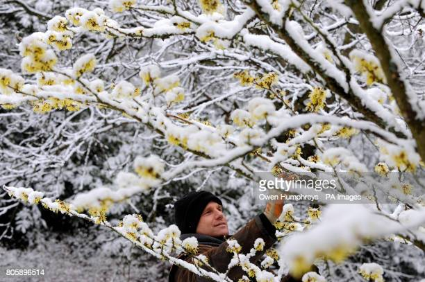 Gardener Robert Allen from Howick tends to a Chinese Witchhazel tree as snow covers its blossom in gardens near Alnwick in Northumberland