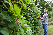 Gardener Trimming Beech Hedge