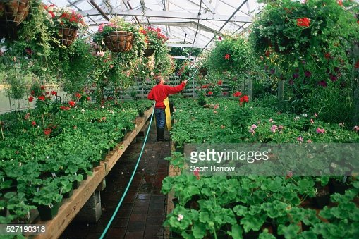 Gardener watering plants in a greenhouse : Stockfoto