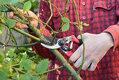 Gardener with garden pruning scissors pruning climbing roses .