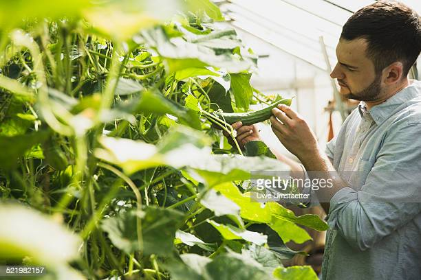 Gardener working in greenhouse