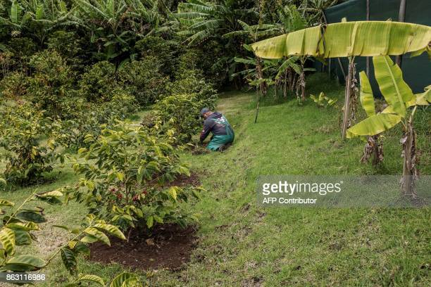 A gardener works on coffee plants at the small Farm's Lodge coffee plantation on October 19 2017 in the British Overseas Territory of Saint Helena...