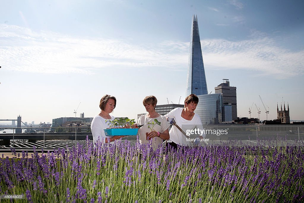 Gardeners (l-r) Tessa Palmer, Linda Moneham and Eileen Arrowsmith tend to plants on the Nomura rooftop gardens, which are opening to the public for the first time as part of Open Garden Squares Weekend 2014, on June 13, 2014 in London, England. Nomura's 6th floor terrace garden with panoramic views across the Thames is one of over 200 usually private gardens which members of the public will be able to explore between June 14th and 15th 2014.