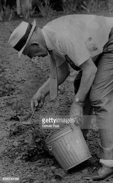 Gardens And Gardening Maynard Jacobson spoons Garbage Puree On Strawberry Patch The odorless effluent is placed around base of plants to feed the...
