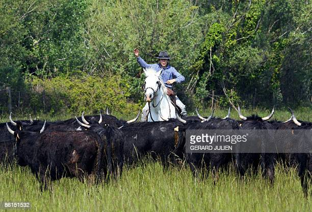 'FRANCE'S WILD WEST HOLDS UP AGAINST MODERNITY' A 'gardian' riding a horse leads young bulls to his ranch in SaintesAntoinedelaMer in the Camargue...