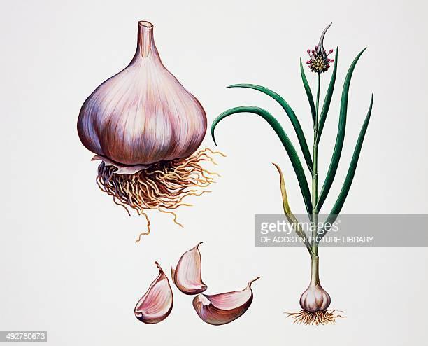 Garlic Amaryllidaceae illustration