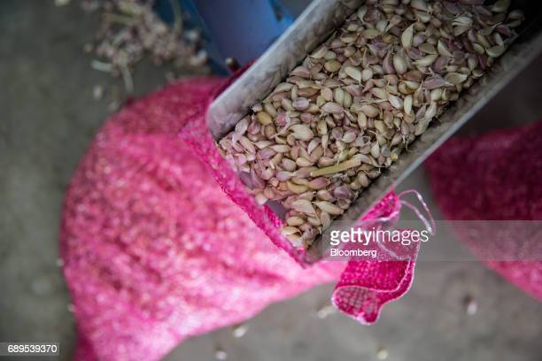 Garlic cloves are collected in a bag at the Nithi Foods Co factory in the San Pa Tong district of Chiang Mai Thailand on Tuesday May 23 2017...
