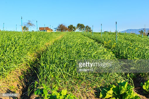 garlic plantation : Stock Photo