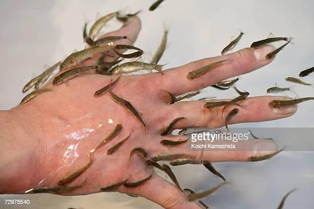 Garra rufa fotograf as e im genes de stock getty images for Fish eat dead skin spa