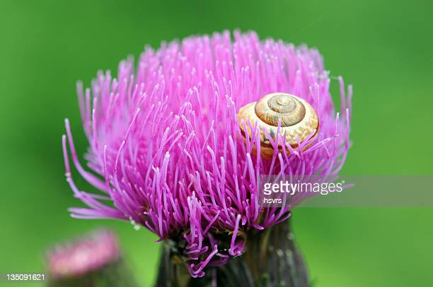 Gastropod shell on a Thistle with green background
