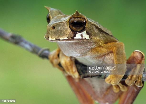 Gastrotheca cornuta, Horned Marsupial Frog