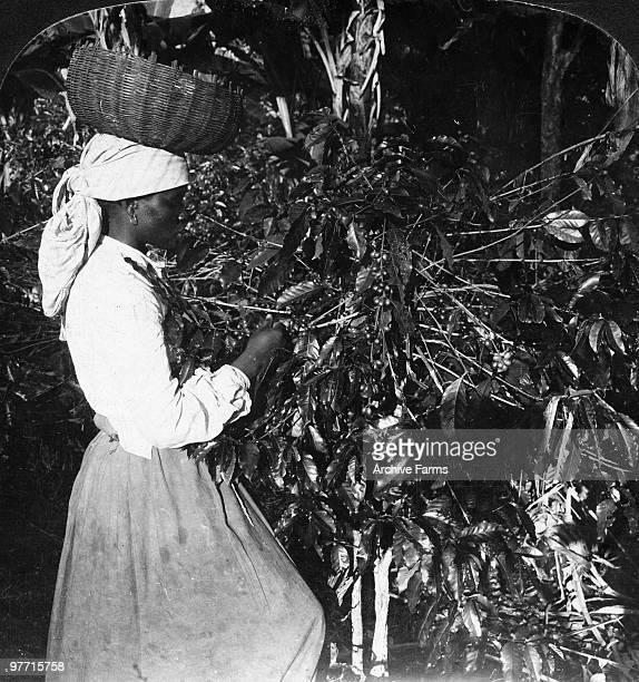 Gathering the coffee berries Jamaica