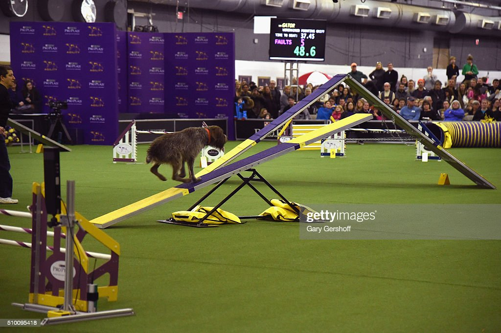 Gator, a Wirehaired Pointing Griffon competes in the Westminster Kennel Club and AKC Meet and Compete at Pier 92 on February 13, 2016 in New York City.