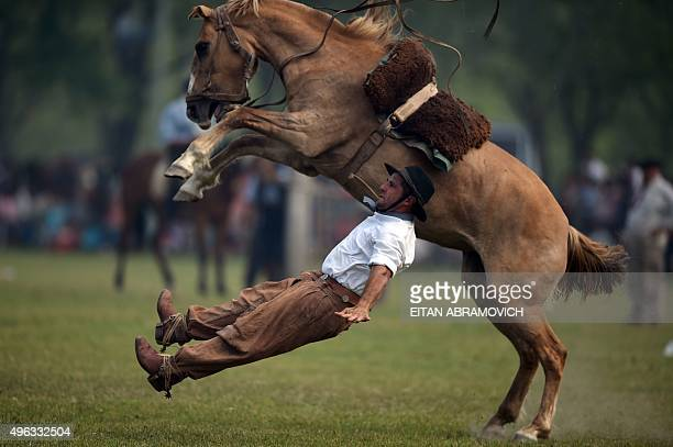A gaucho falls from a colt at a rodeo exhibition during during 'Tradition Day' in San Antonio de Areco Argentina on November 8 2015 The celebration...