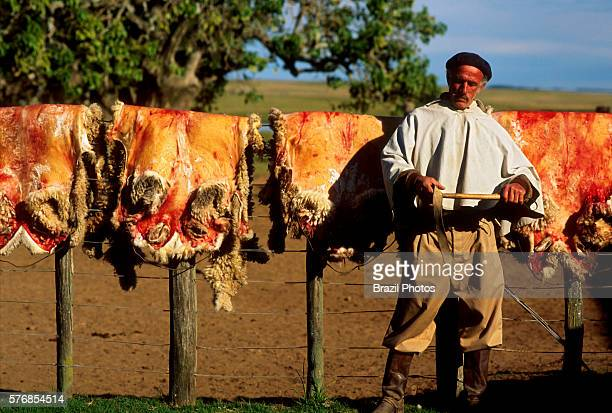 Gaucho wears traditional costume a country person experienced in traditional cattle ranching work in front of sheepskins hanging on the fence...