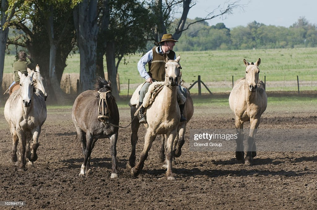 A Gaucho working with a tropilla.  : Stock Photo