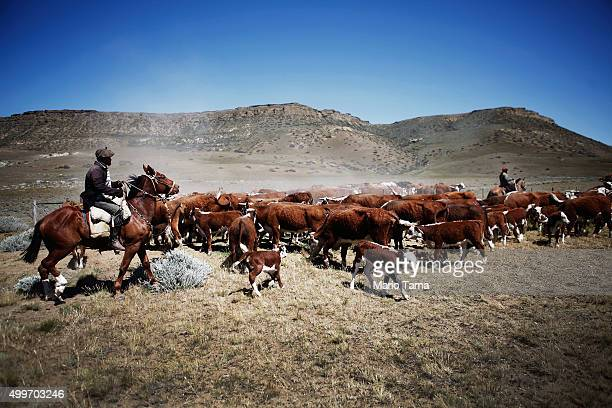 Gauchos drive cattle outside Los Glaciares National Park near the Southern Patagonian Ice Field on December 1 2015 in Santa Cruz Province Argentina...