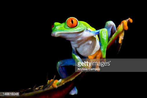 Gaudy leaf frog / Red eyed tree frog : Stock Photo