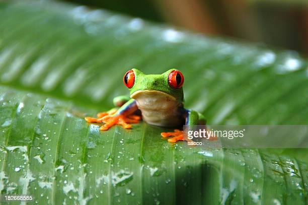 Gaudy Blatt-Baum-Frosch#002