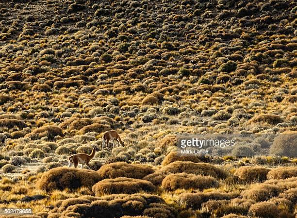 Gaunaco grazing in Patagonia, Argentina