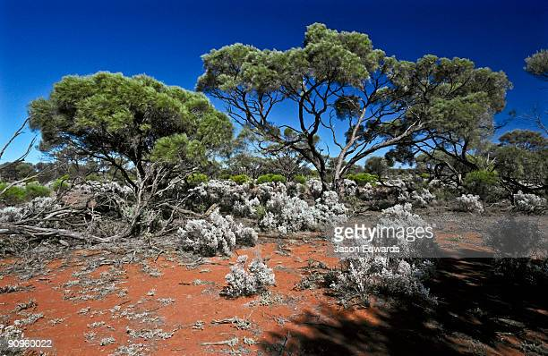 Mallee trees and saltbush scrublands thrive in arid red sandy soils.