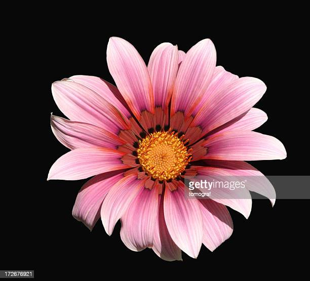 Gazania flower with clipping path