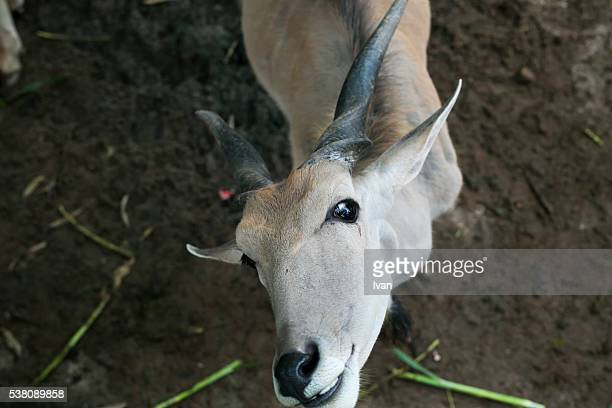 A Gazelle Looking Up for Asking Food