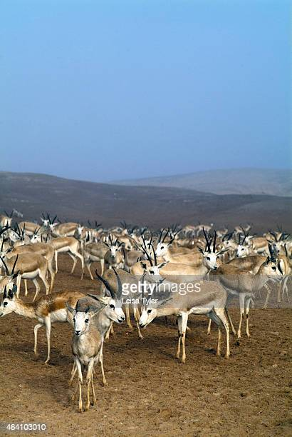 Gazelles in the wildlife park on Sir Bani Yas an island in the Persian Gulf The once private retreat of the United Arab Emirates founder the former...