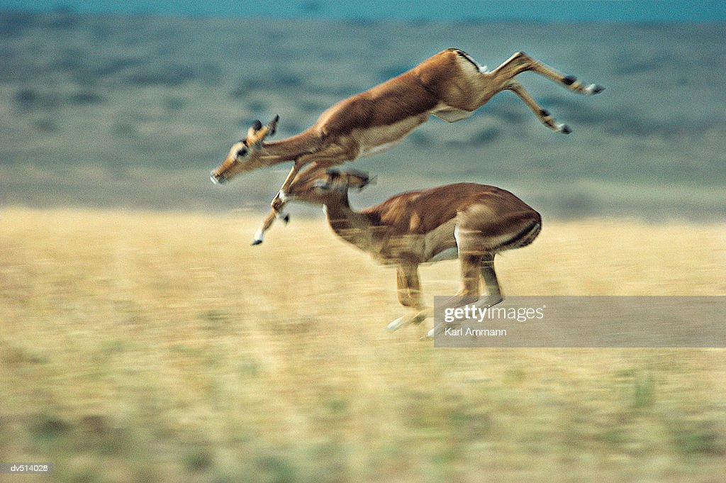 Gazelles leaping